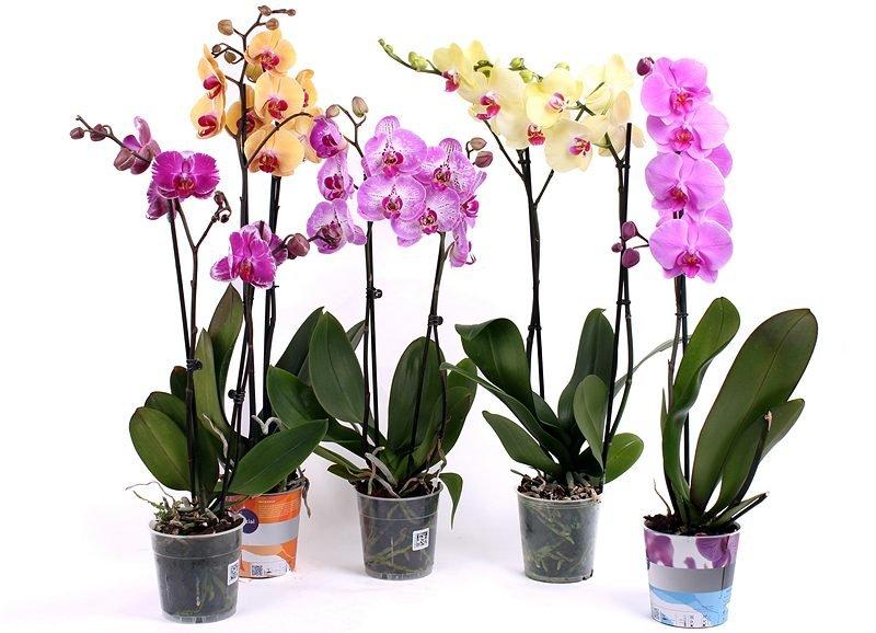 ld_orhideya_VIRACHIVANIE_23123-e1506330310761[1].jpg