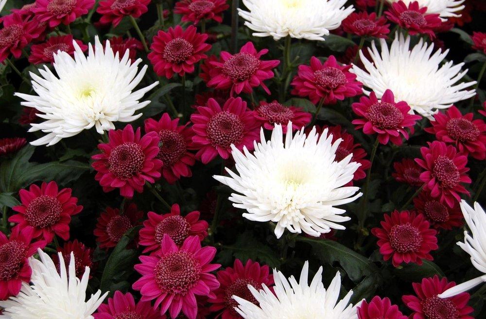 chrysanthemums-flowers-white-burgundy-bouquet-close-up-1073004.jpg