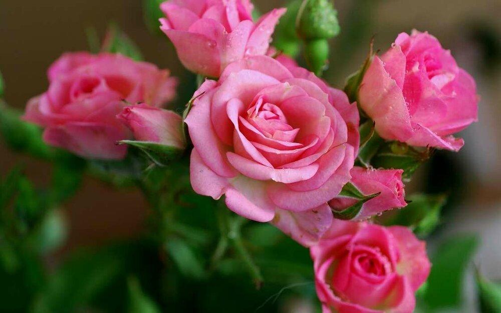 cvety-rasteniya-rozy-39203.jpg