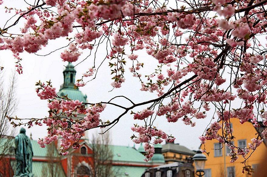 stockholm__sakura.klccongjofco[1].jpg