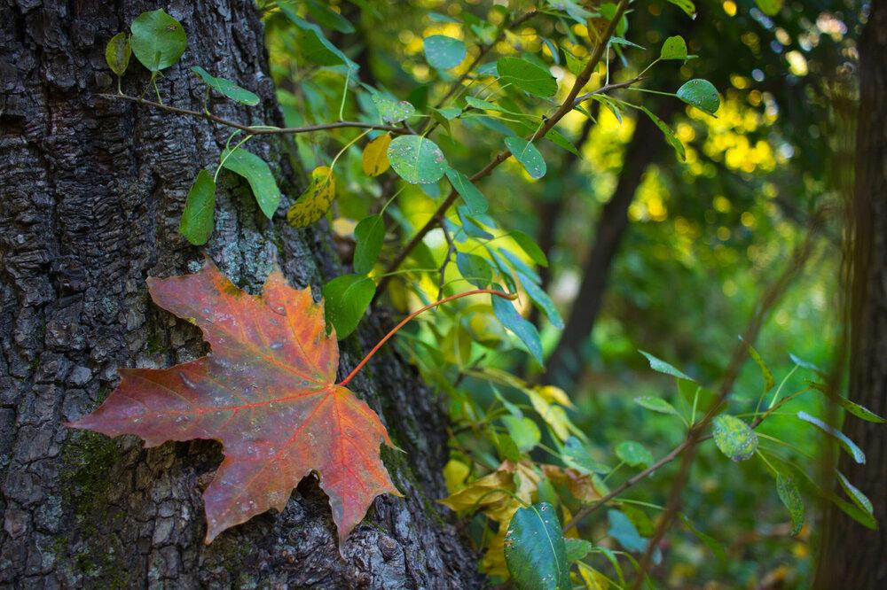 IMG_5249 Белоусовский парк Осенний лист.jpg