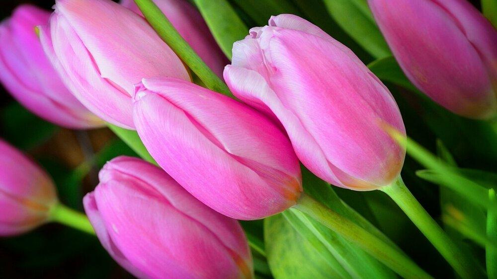 pink-tulip-buds-flower-1600x900.jpg