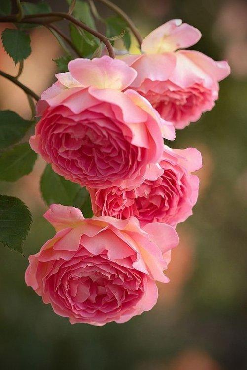 367dbf53d56fd530a55119328b01cb17--ana-rosa-english-roses.jpg