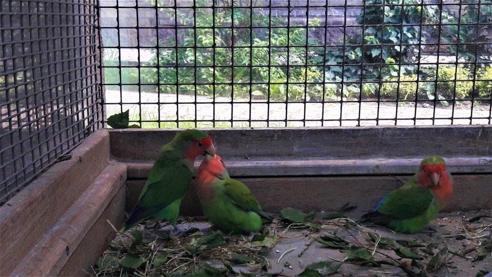 Брест попугай1.jpg
