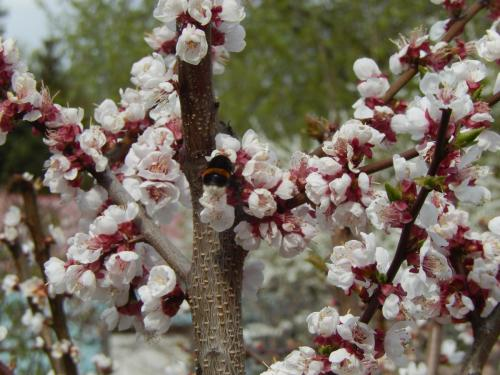 1580.Персики в цвету.JPG