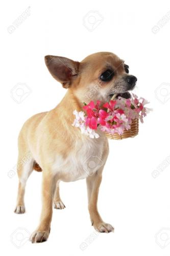 14457914-portrait-of-a-cute-purebred-puppy-chihuahua-with-flowers-in-front-of-white-background-Stock-Photo.jpg