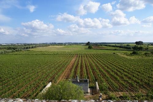 vineyards-negroamaro_salento_puglia.jpg