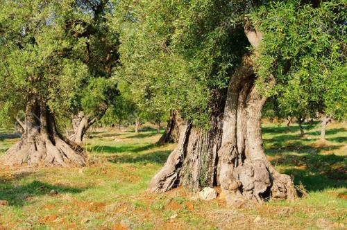 12063647-olive-grove-Stock-Photo.jpg