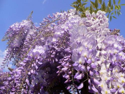wisteria_frutescens_02.jpg