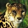 gepard30